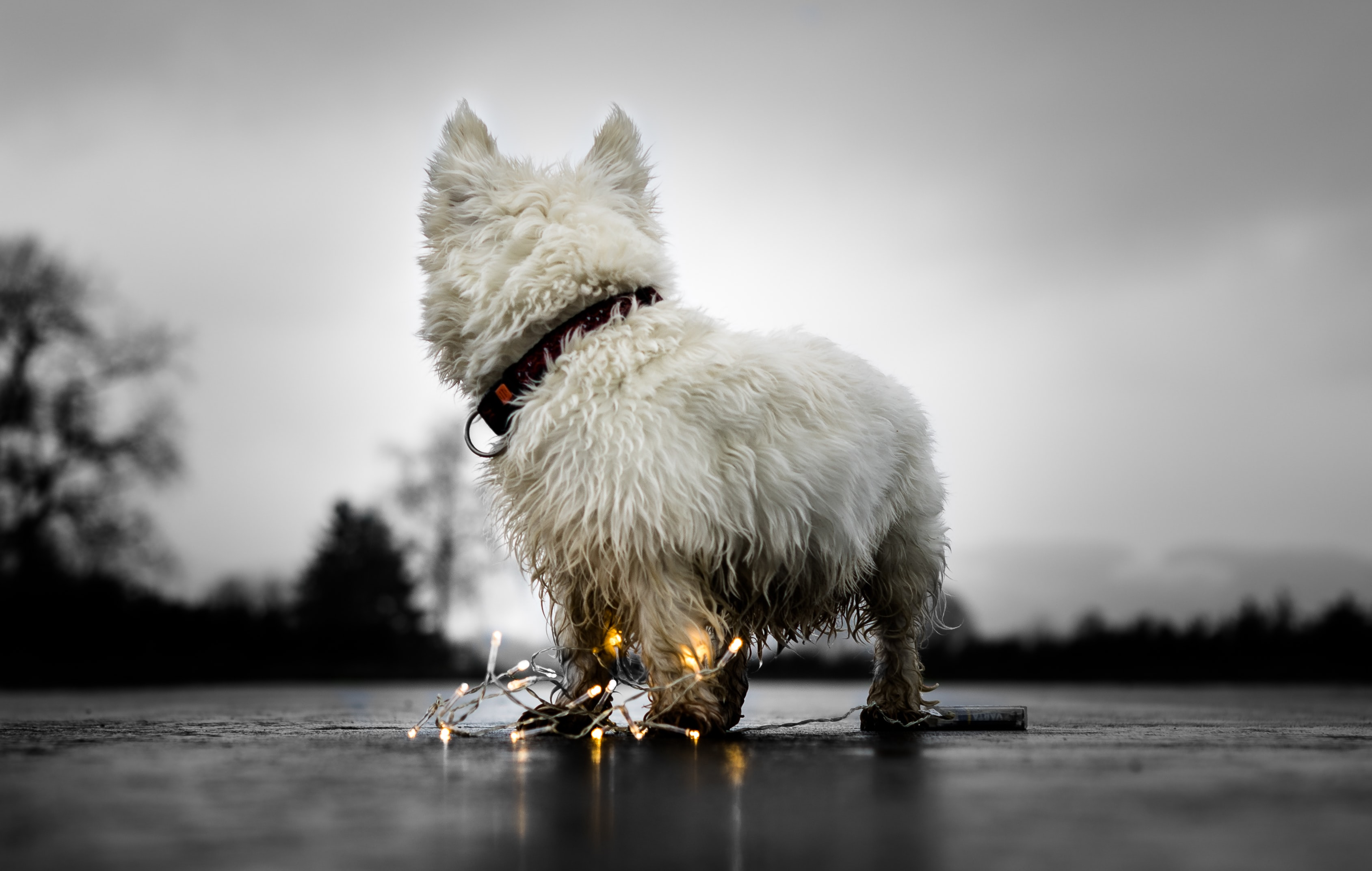 photo of long-coated white dog