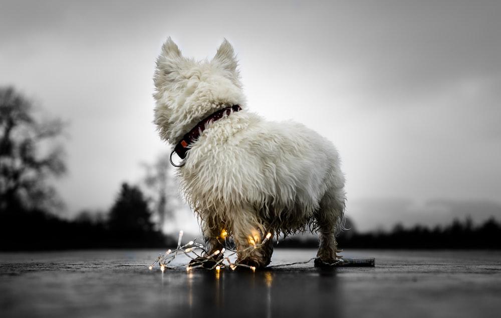photo of long-coated white dog