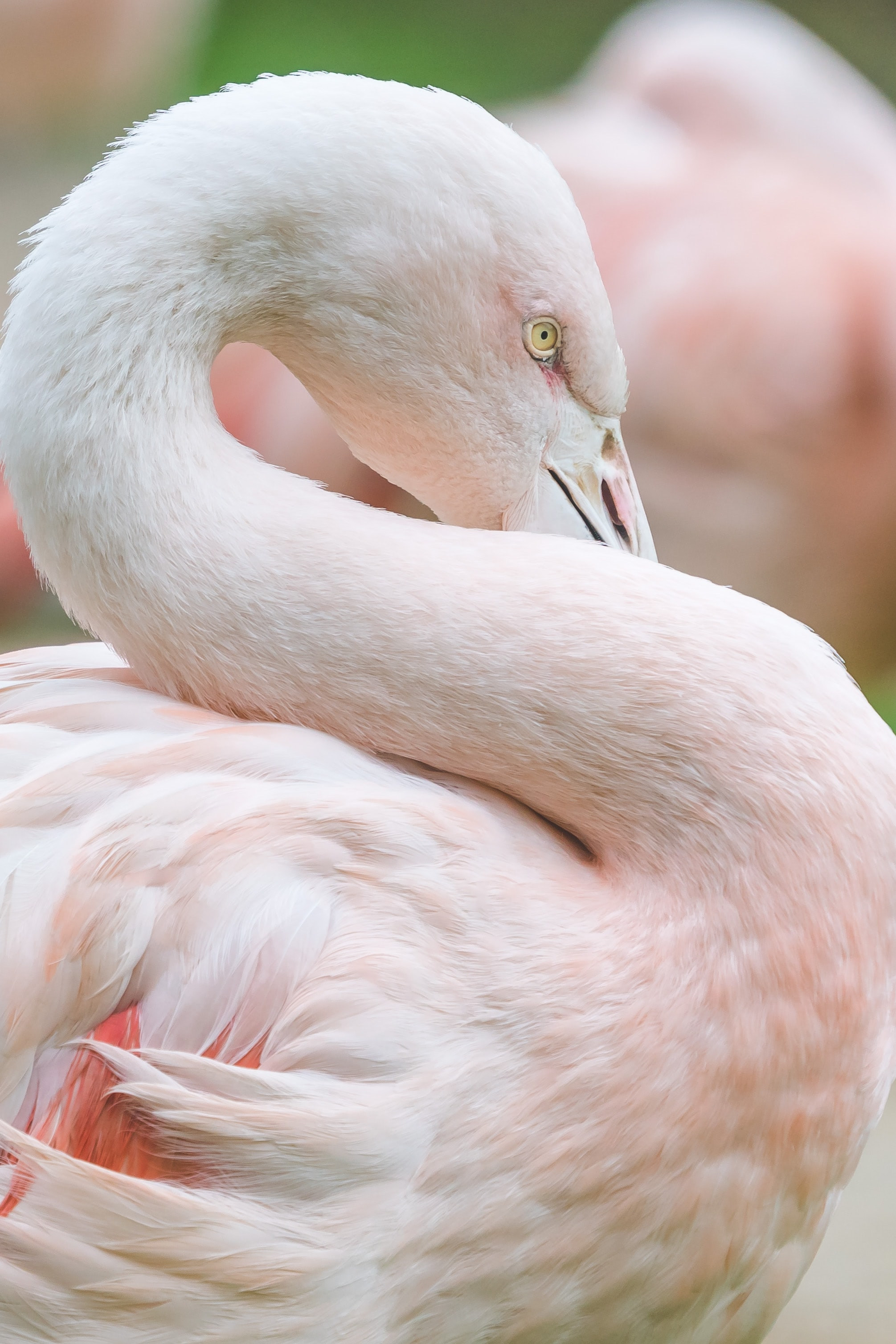pink flamingo in shallow focus photography