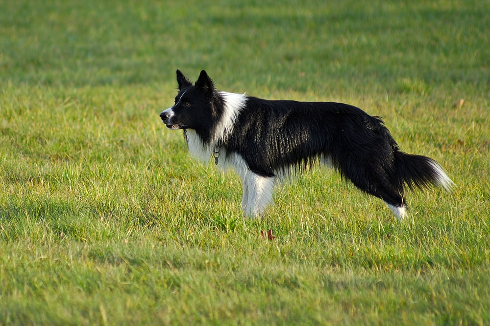 long-coated black and white dog standing on grass field
