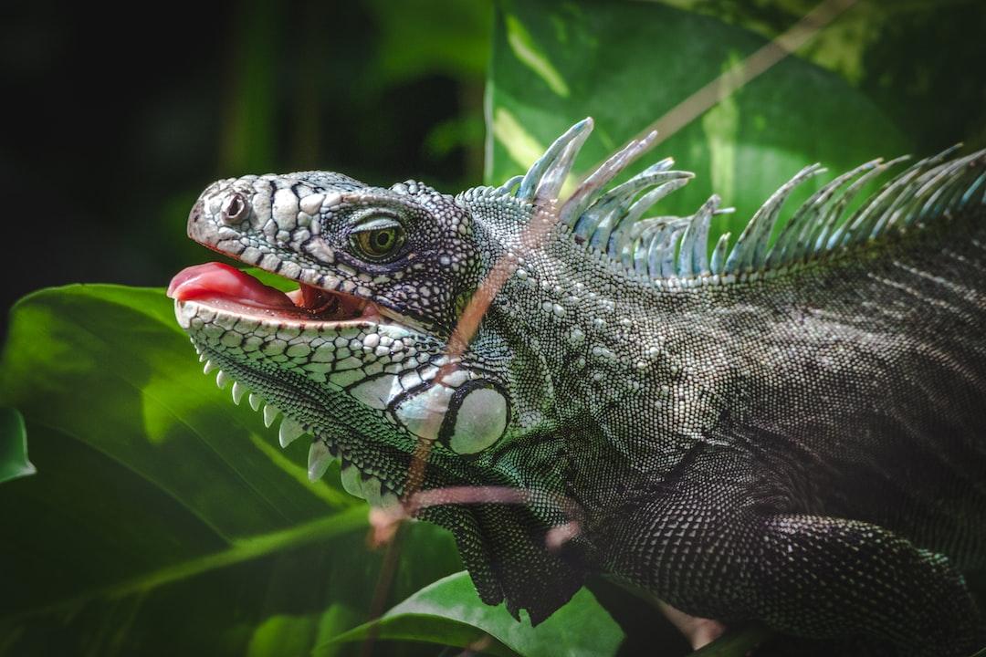 Iguana from Guadeloupe