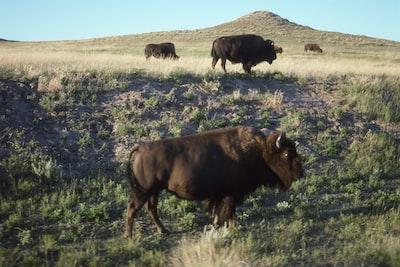bisons on field bison zoom background
