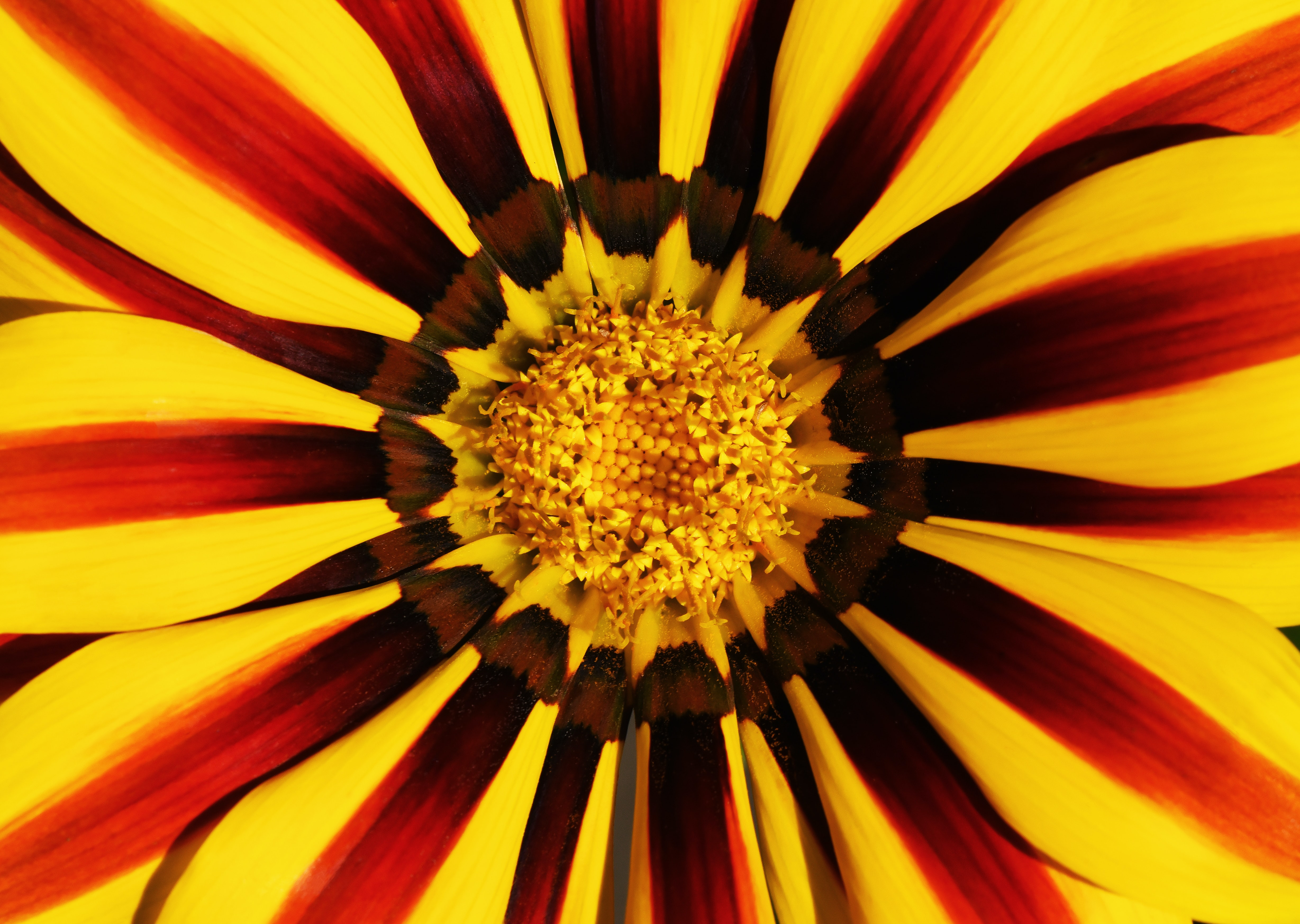 yellow and red petaled flower macro photography