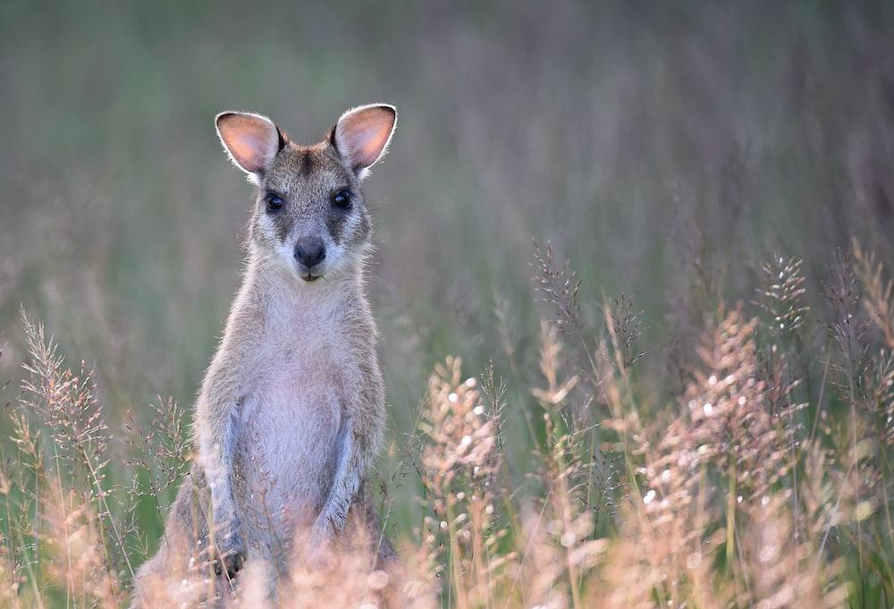 gray kangaroo on grass field