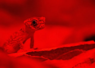 gecko on red background