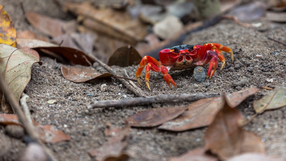 selective focus photography of red crab
