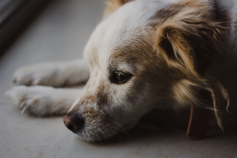 close photo of white and tan dog