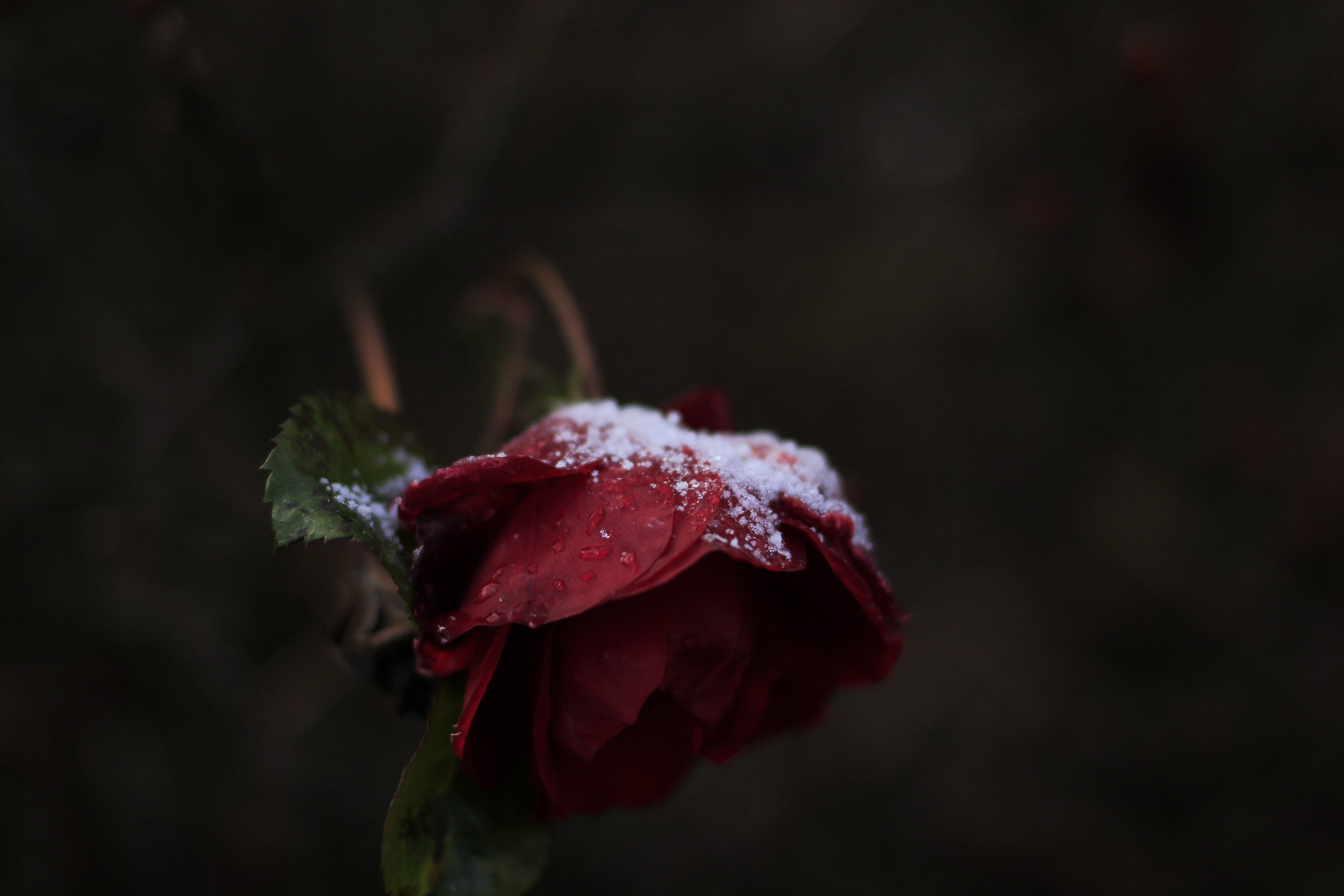 snow powders on red rose flower