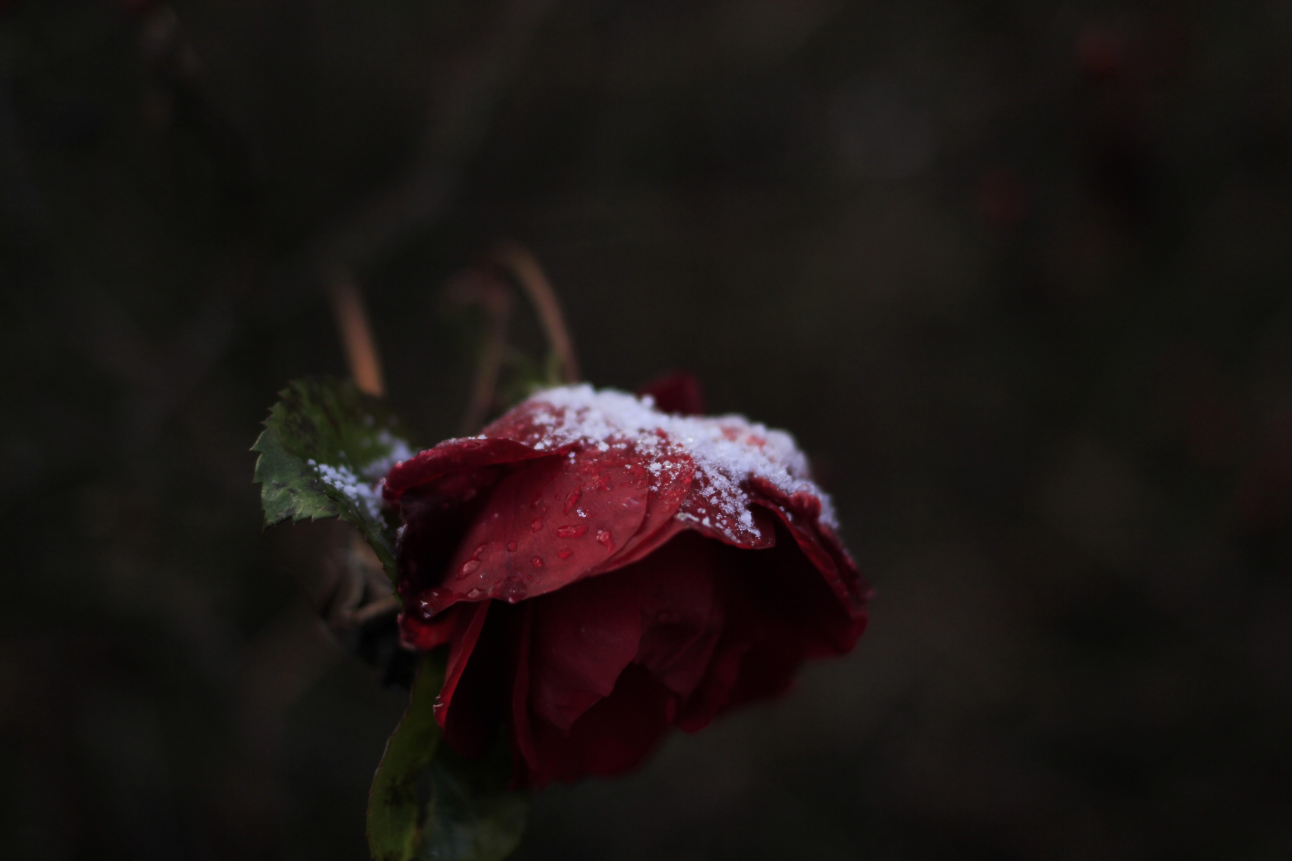 snow powders on red rose flower