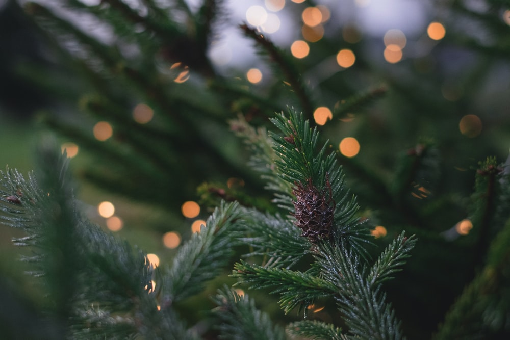 closeup photography of pine tree with pinecone