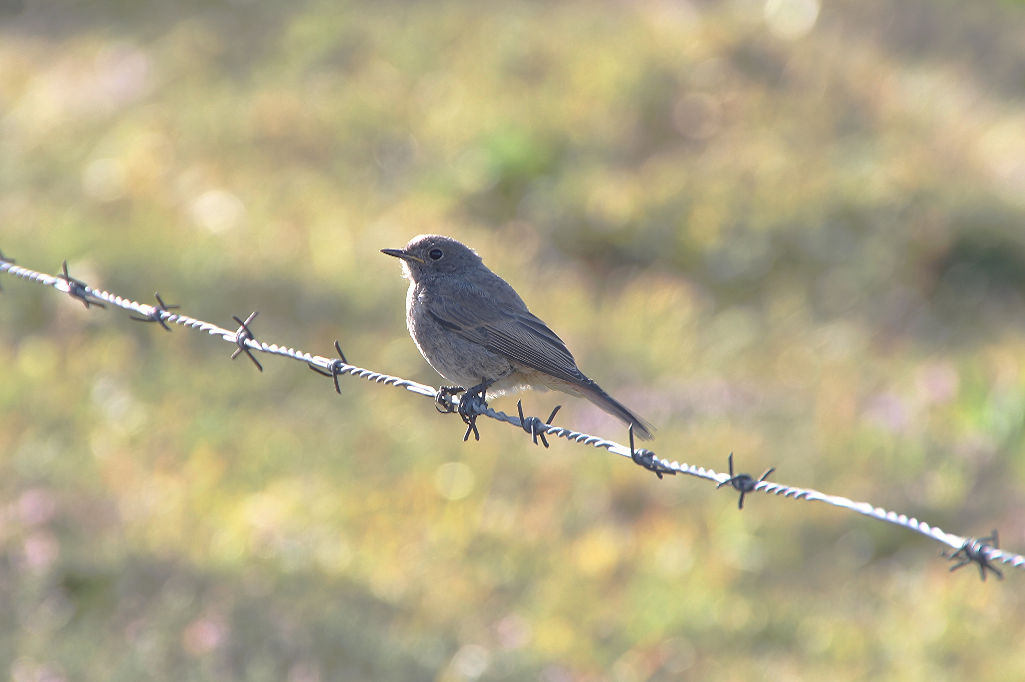gray bird on barb wire fence