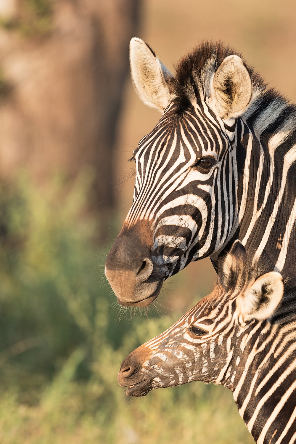 two zebras in shallow focus shot