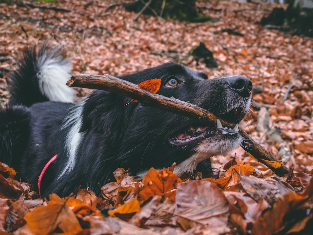 adult Border Collie retrieving brown tree branch