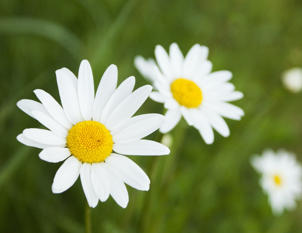 shallow focus photography of daisies during daytime