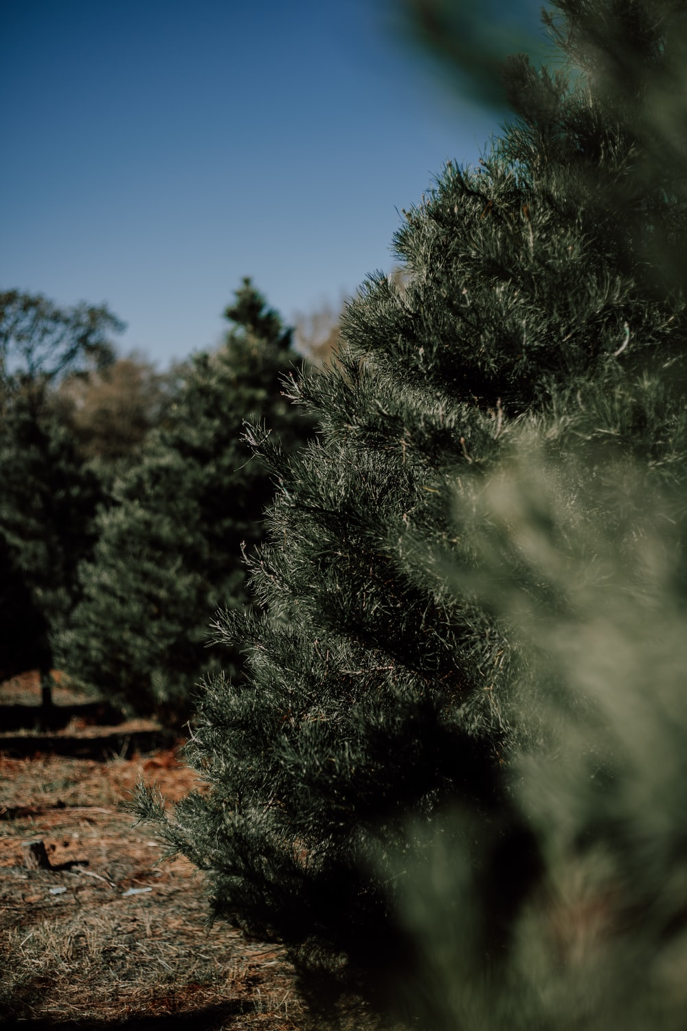 Elgin Christmas Tree Farm.Elgin Christmas Tree Farm Pictures Download Free Images On
