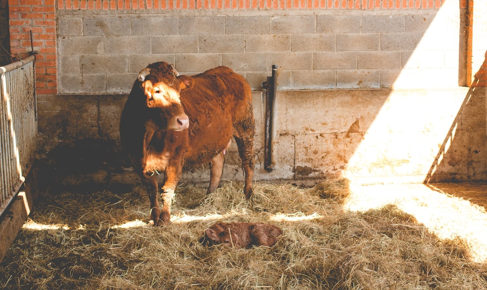 brown cattle inside fence