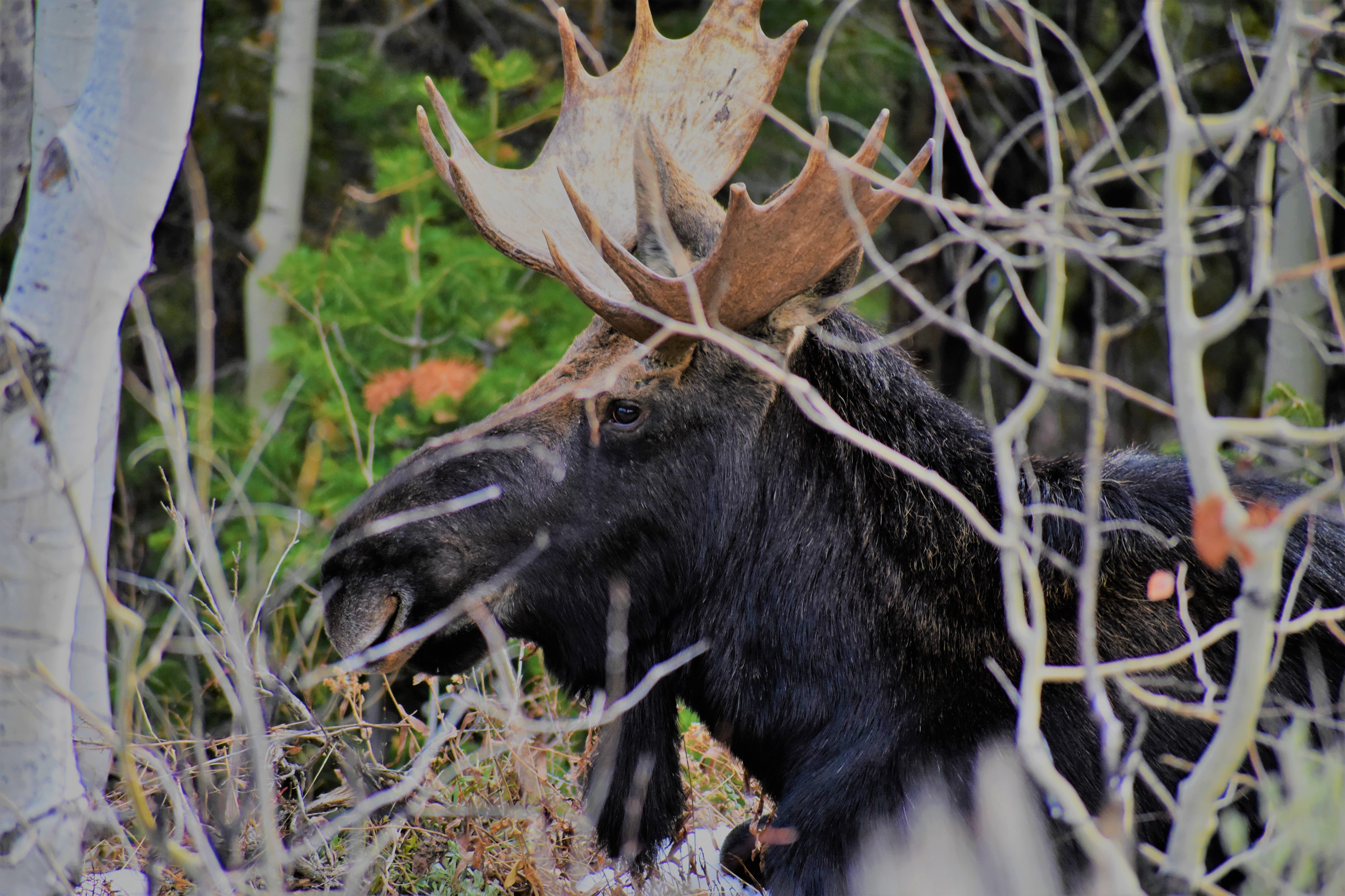 black and brown moose near tree branches