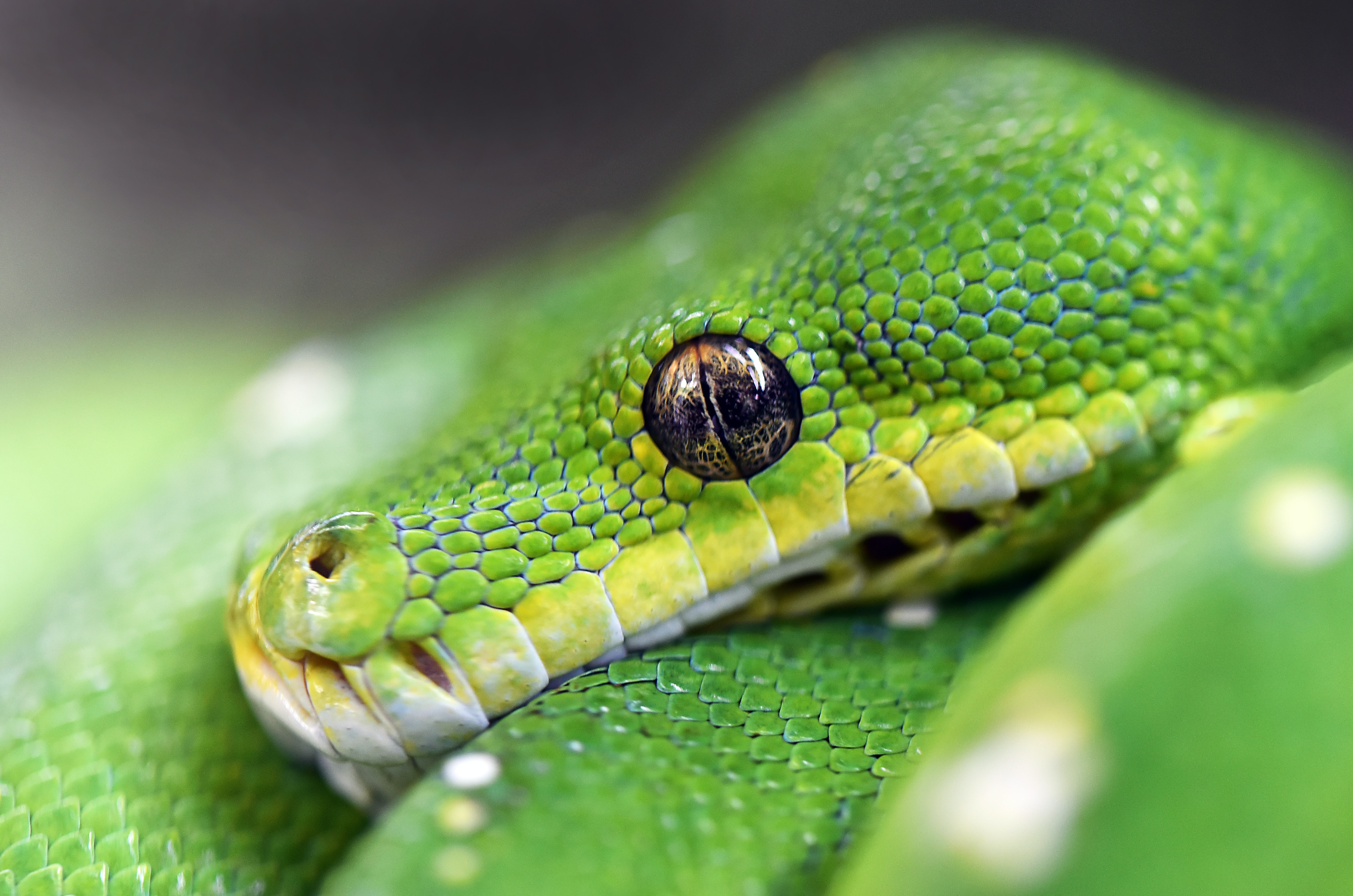macro photography of green viper