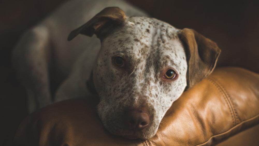 selective focus of dalmatian dog