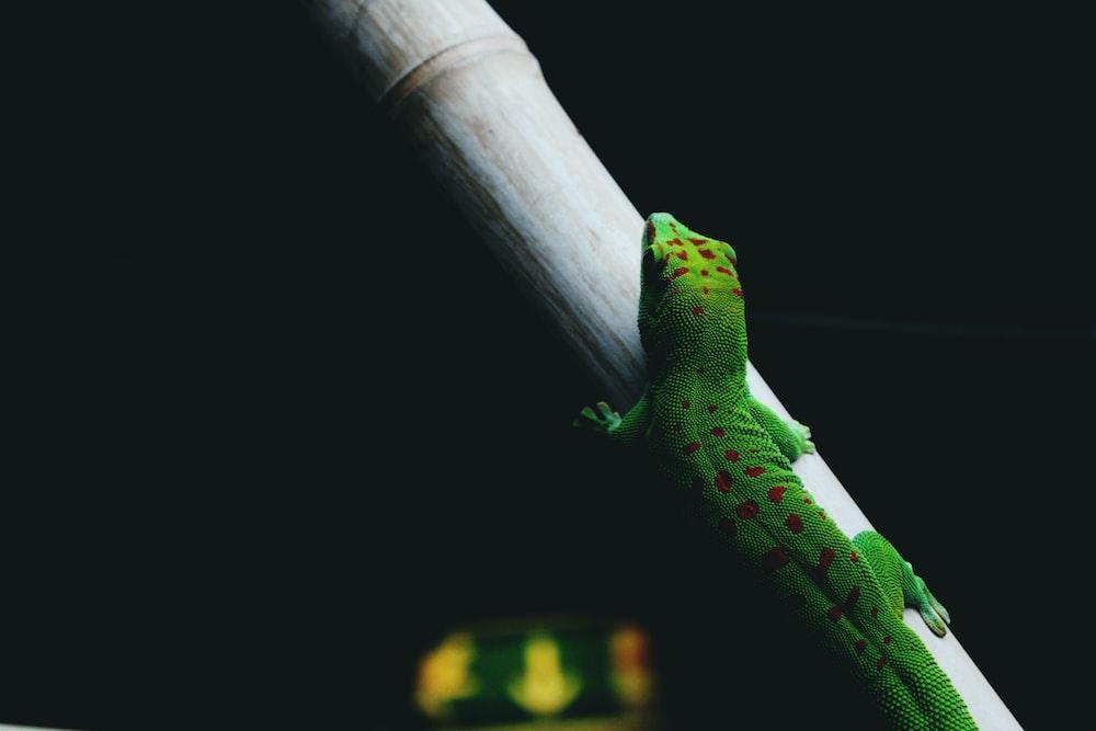 green lizard walking on a tree branch