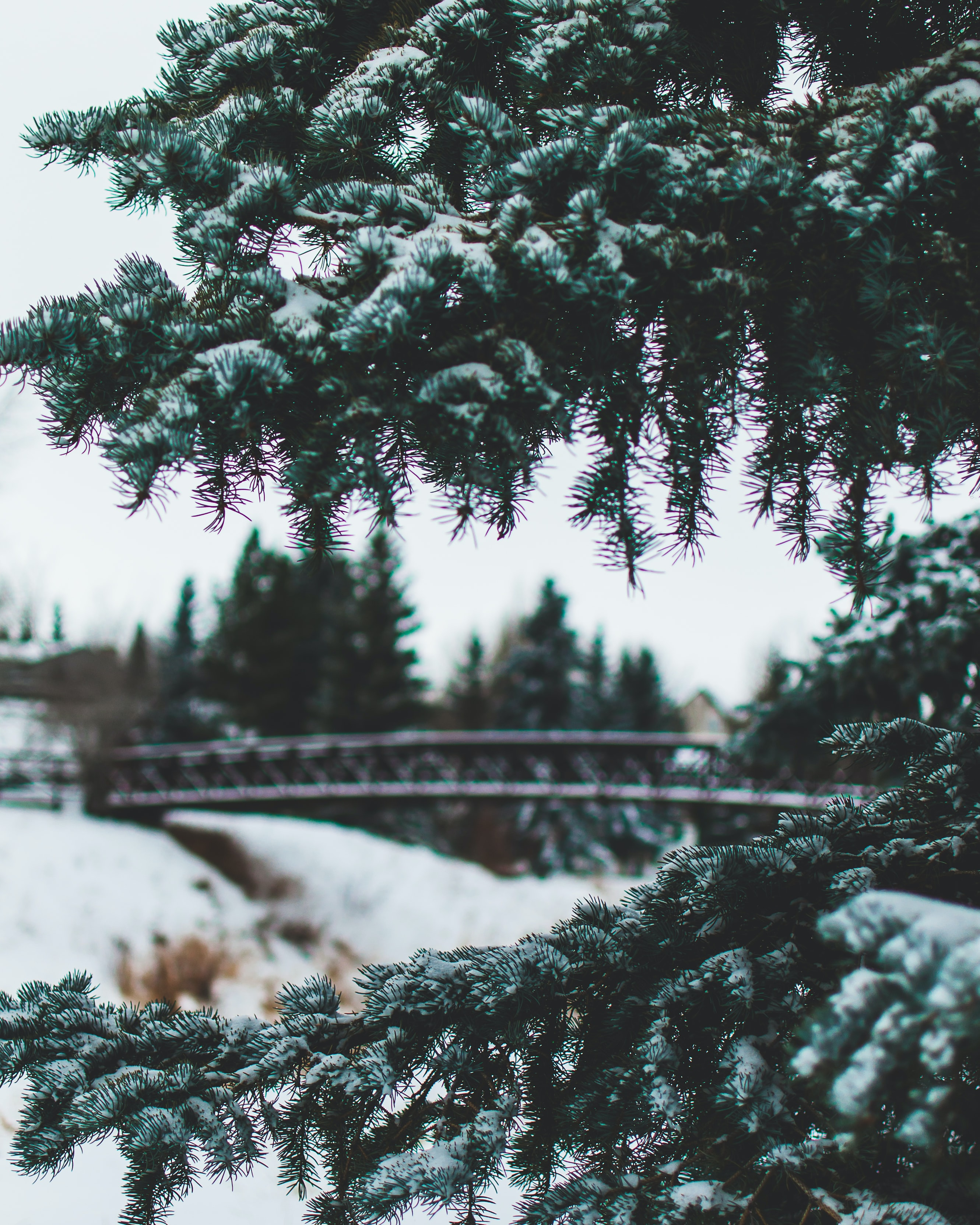 pine tree with snow during daytime