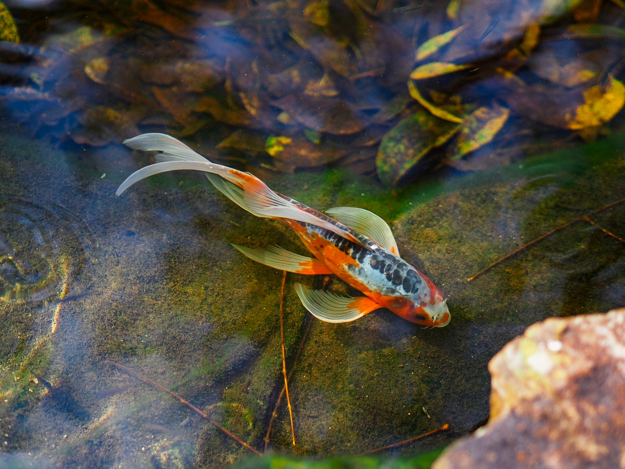 orange koi fish on body of water