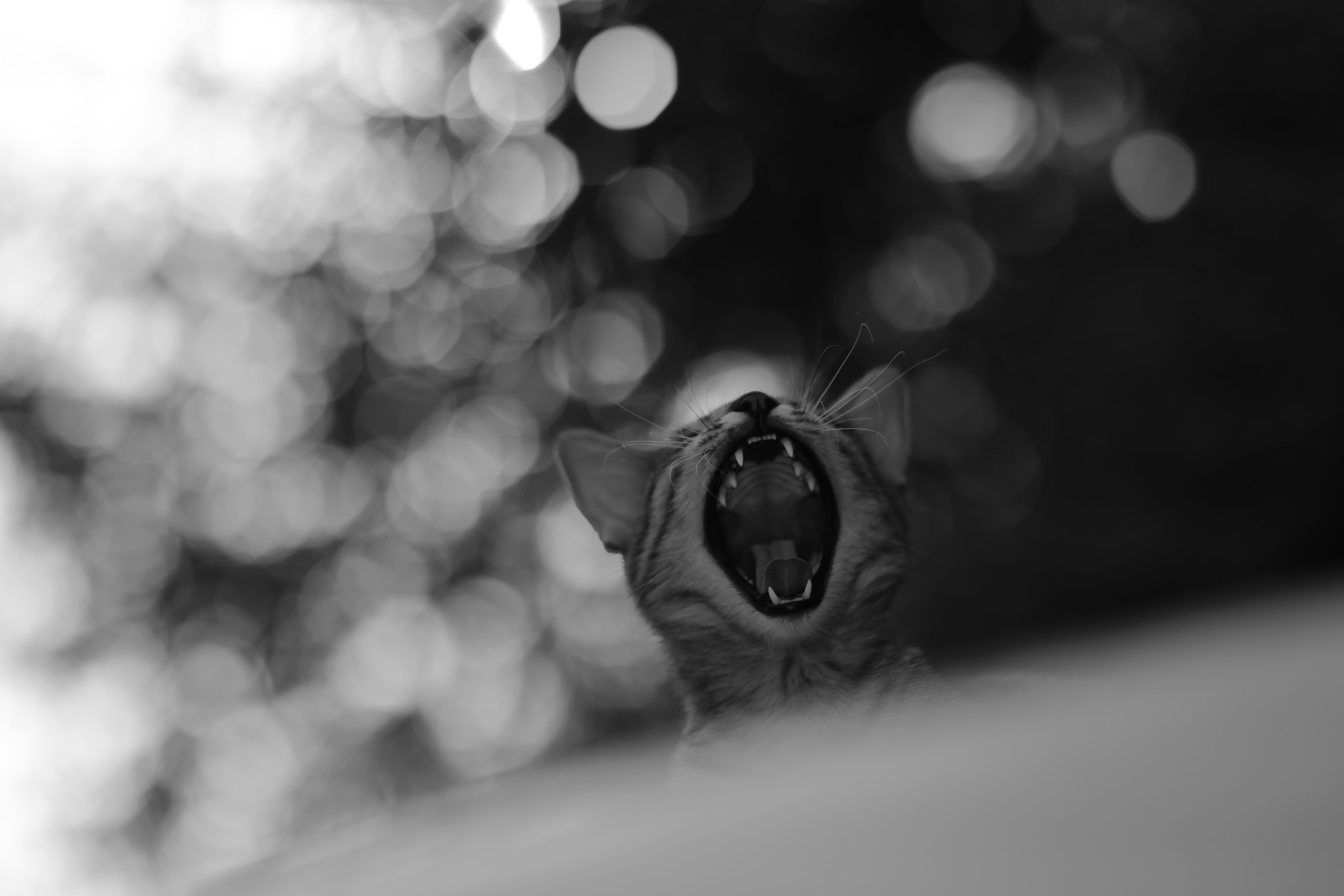 grayscale photo of yawning cat