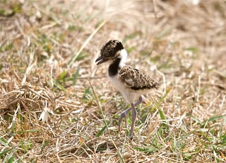 brown and white chick on grass land