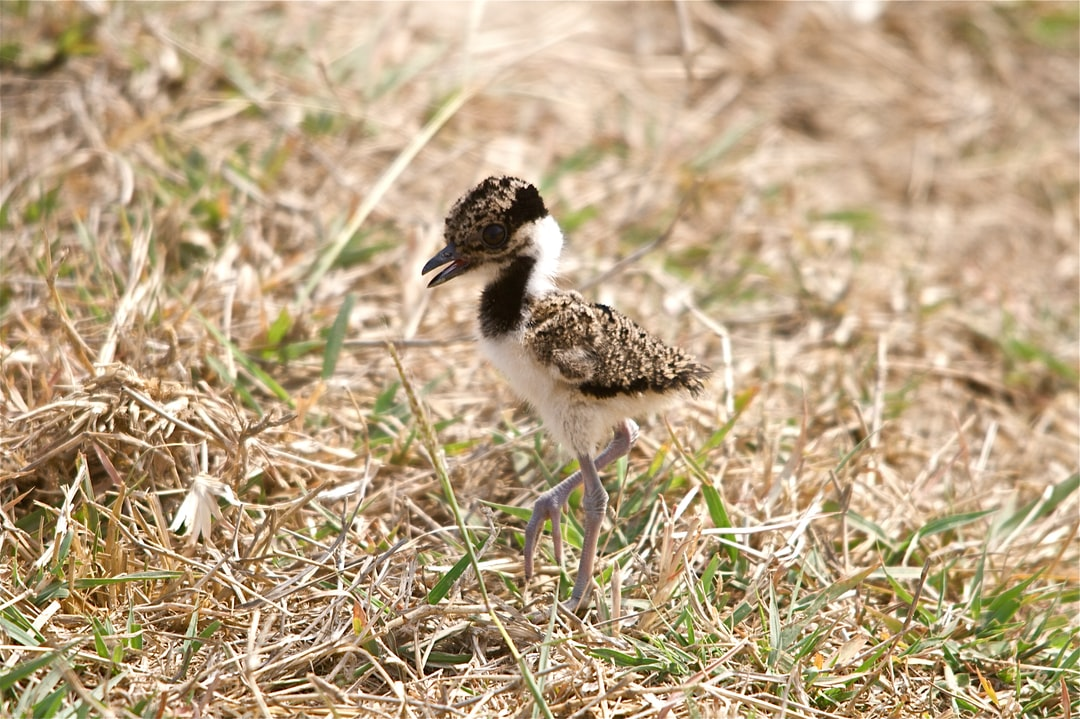Lapwing Chick just from its nest