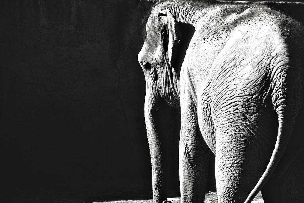 gray scale photo of elephant