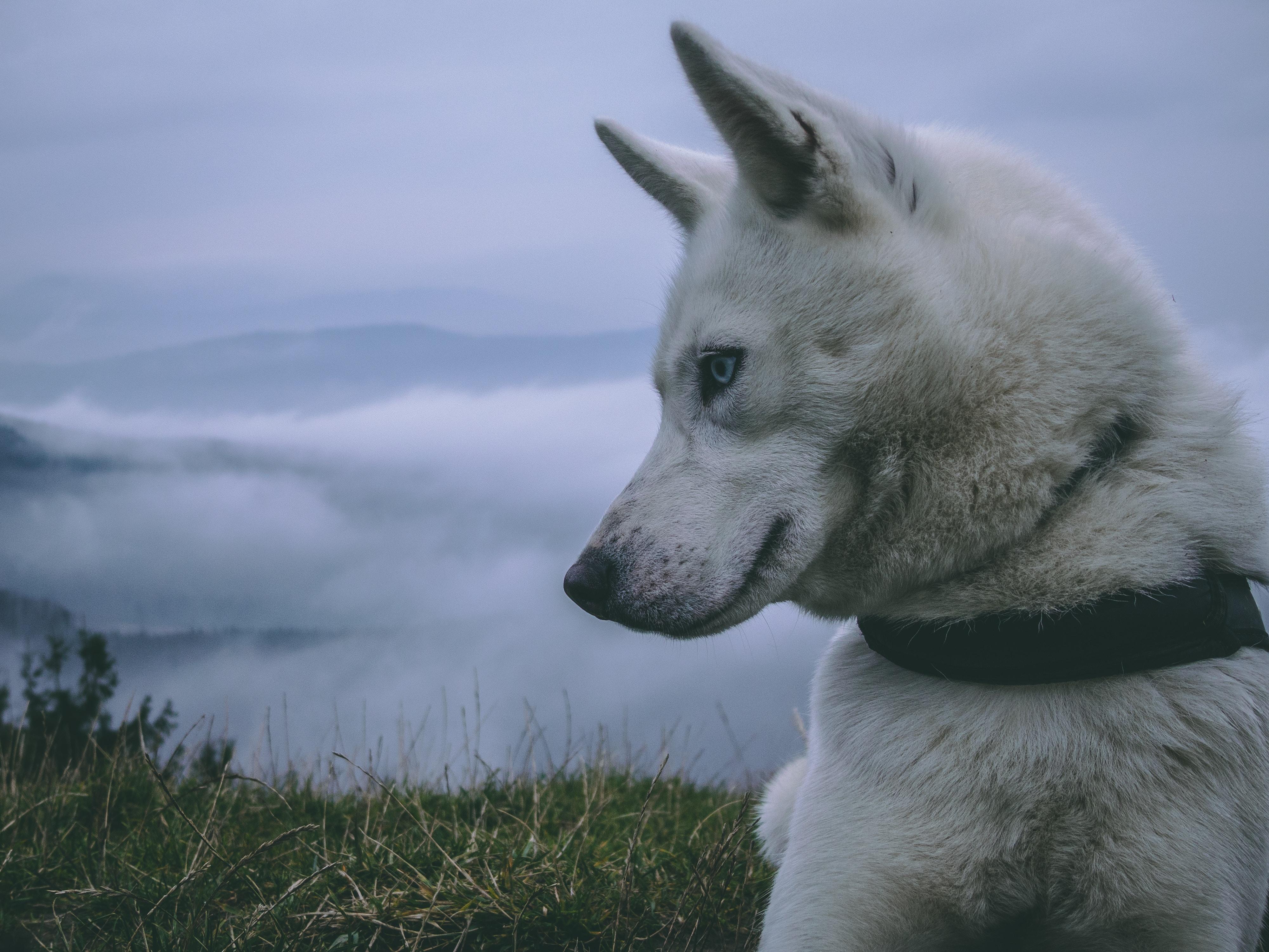 closeup photo of white wolf on grass field