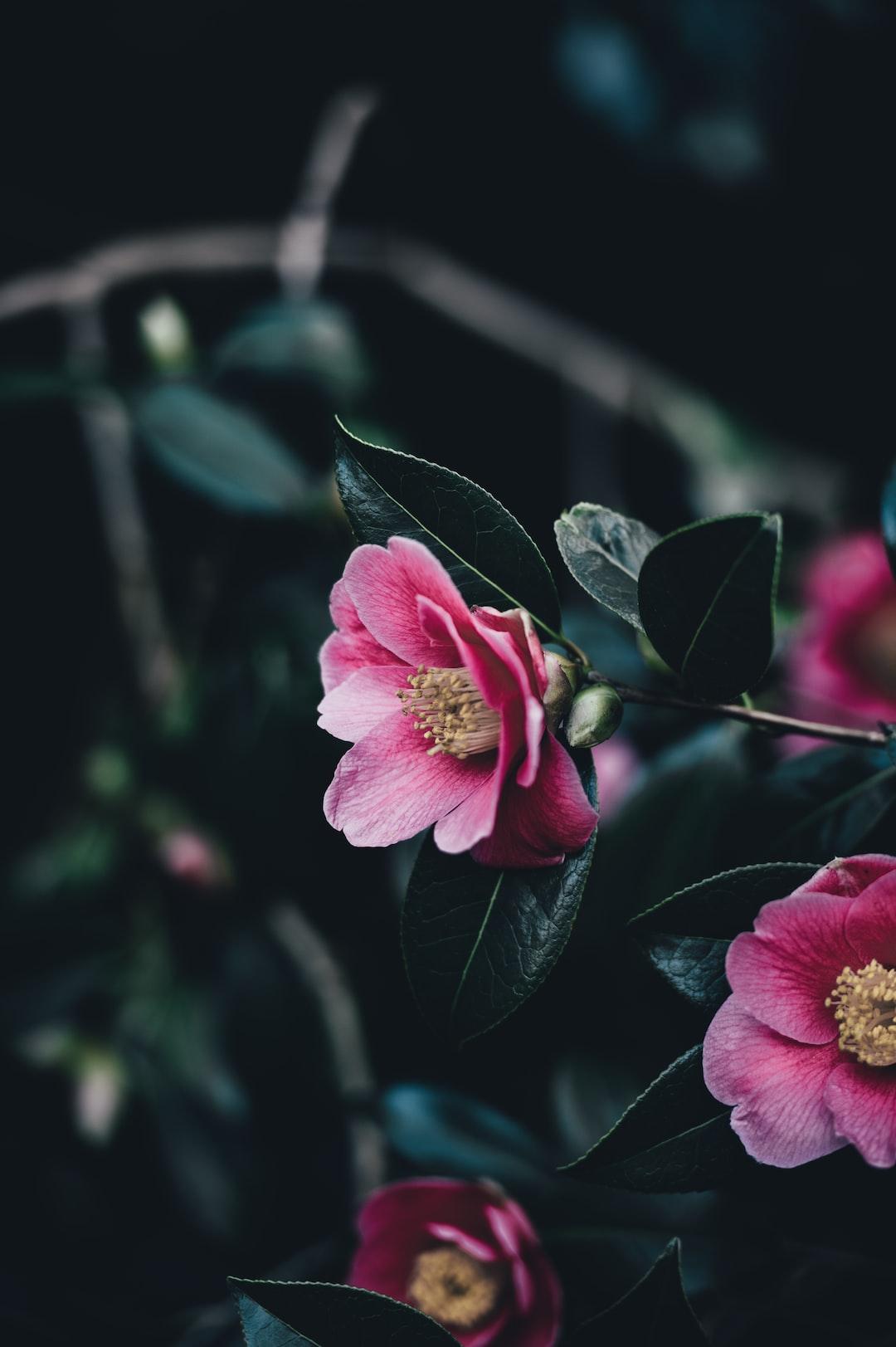 Flower, dark, pink and garden HD photo by Annie Spratt ...