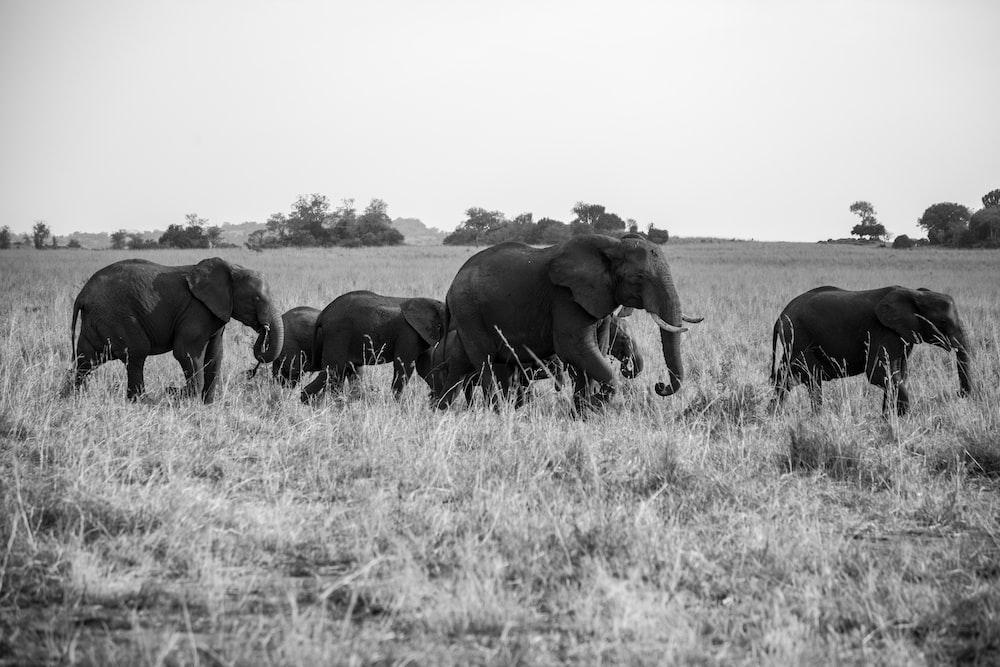 group of walking elephants
