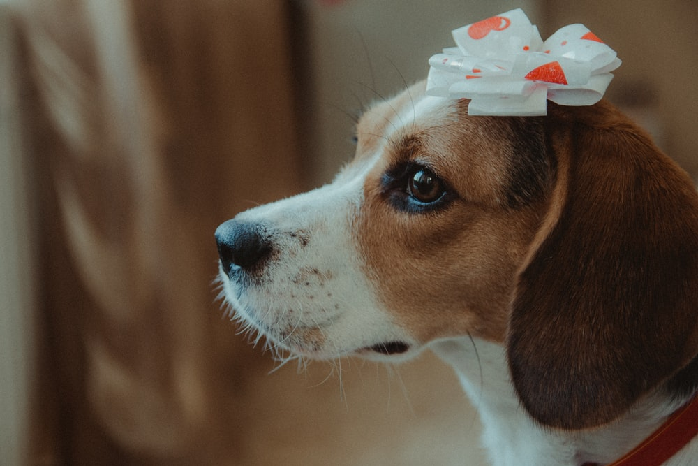 selective focus photography of adult beagle
