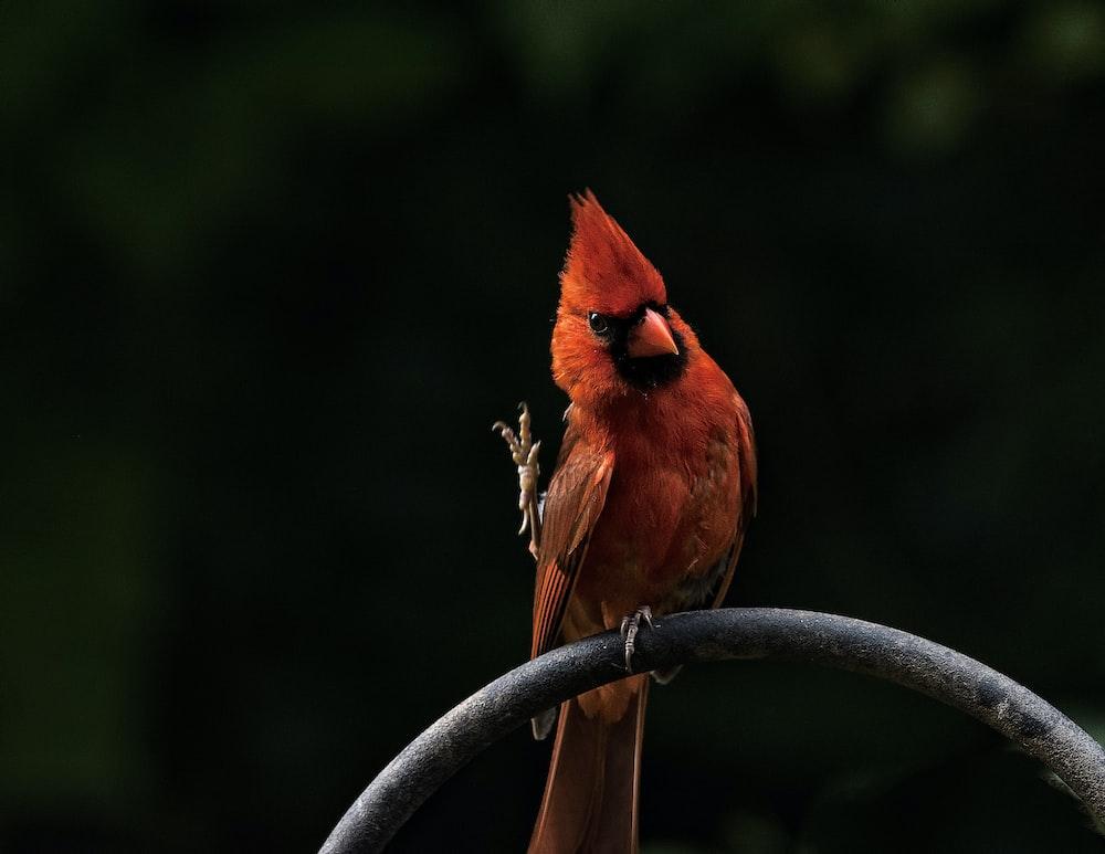perched cardinal