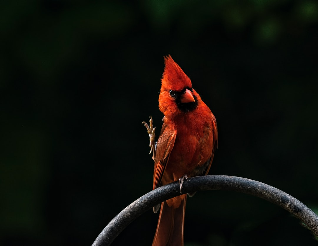 Set up some bird feeders in the back yard and had around 20 cardinals come during the summer of 2017 to the feeder.  They set up their home in the trees and had many young cardinals towards the end of summer.  I couldn't decide if this one was waving a thank you or showing me he knows Karate.