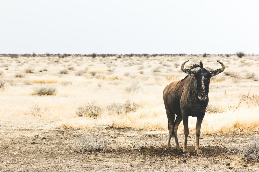 buffalo standing near grass background of open field at daytime