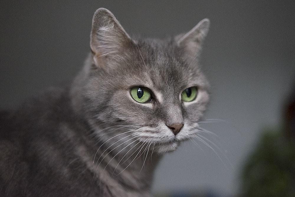 gray Siamese cat
