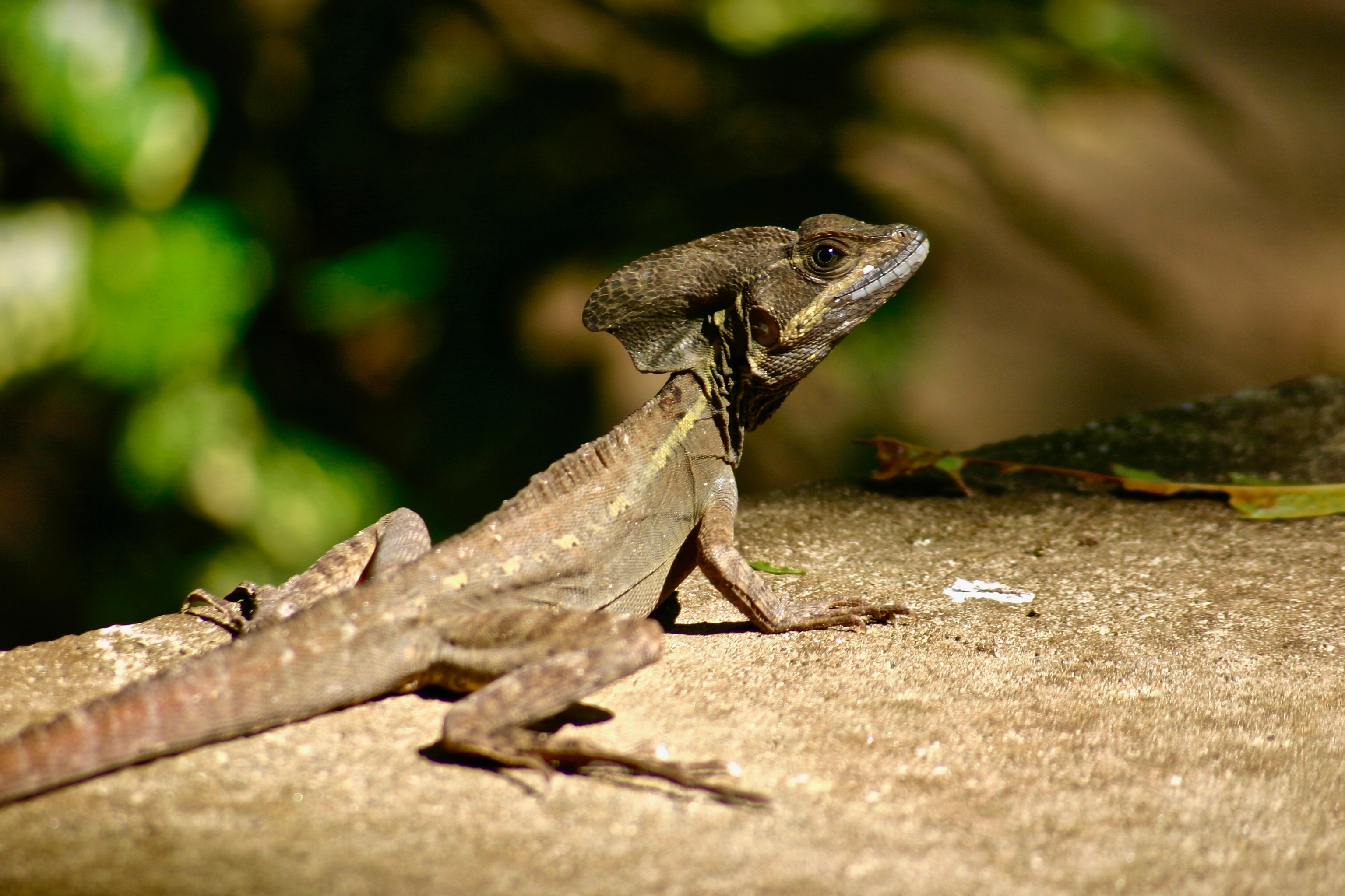 brown lizard on gray surface