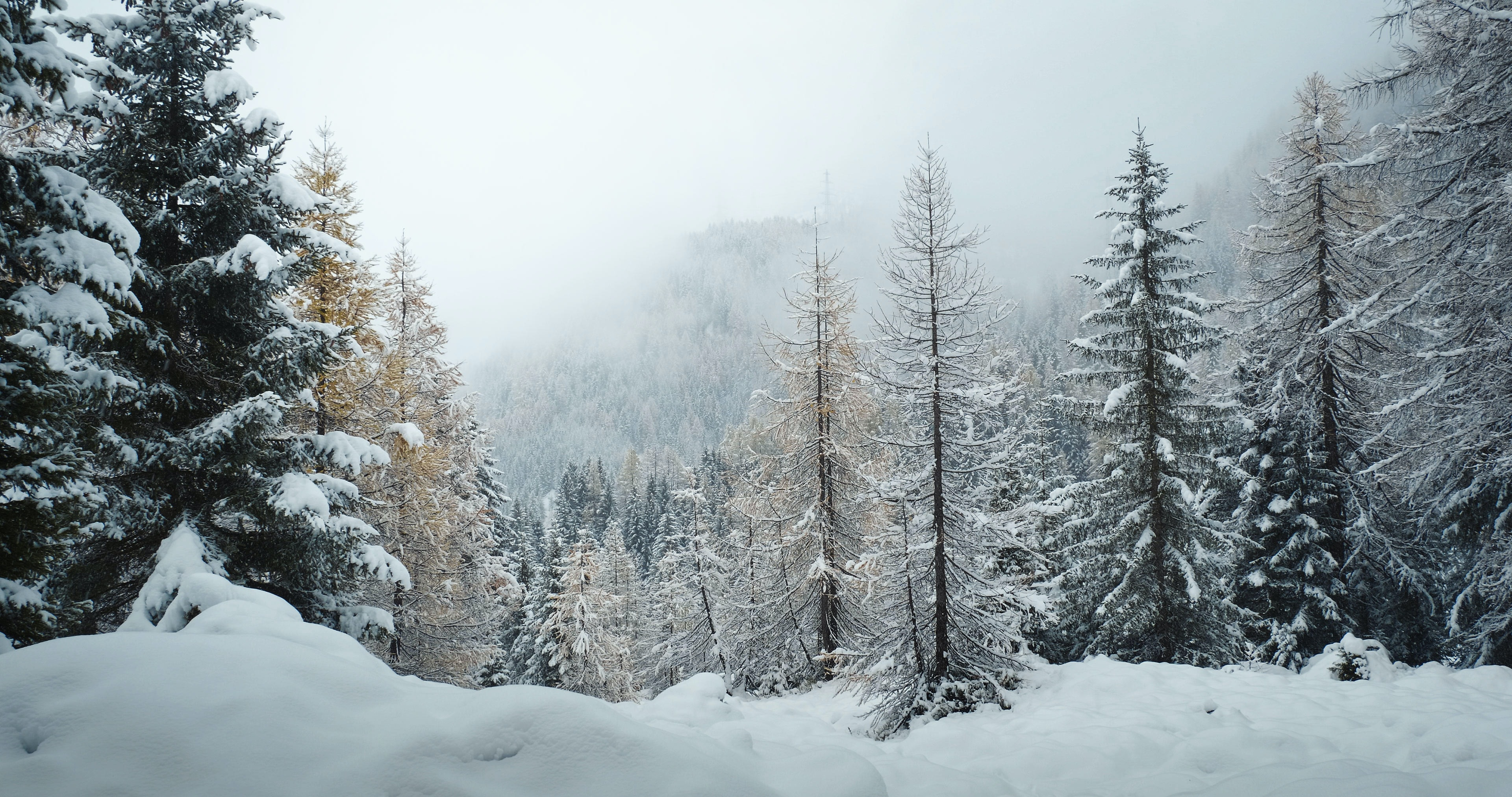 pine leaf trees covered with snow