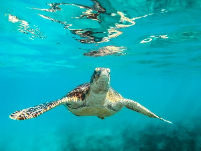 sea turtle in body of water barbados teams background
