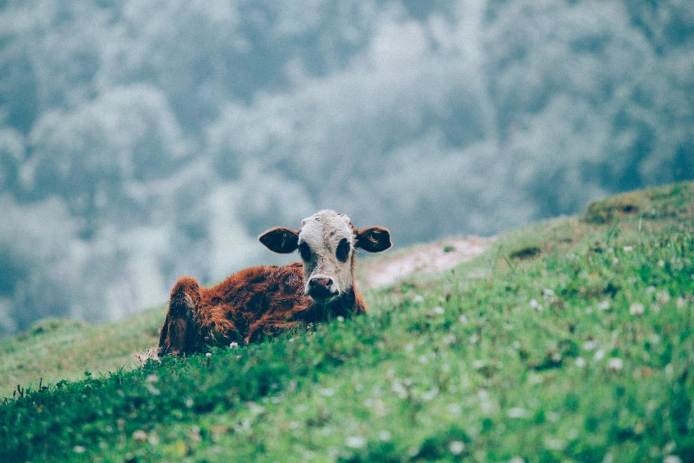 brown and white calf on green grass field