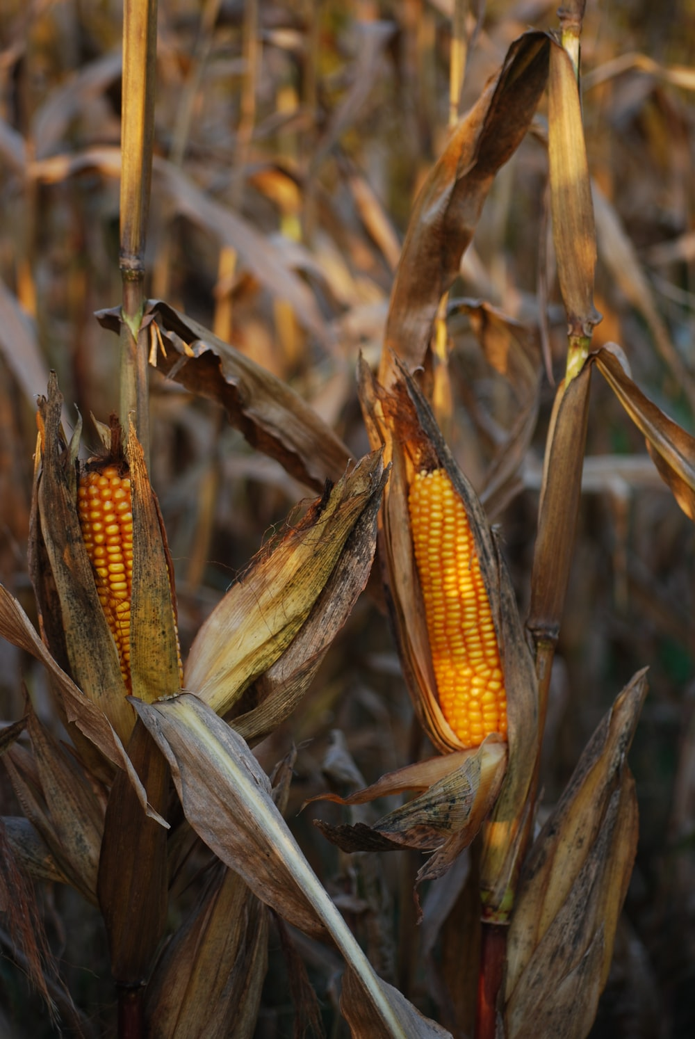 selective focus photography of corn