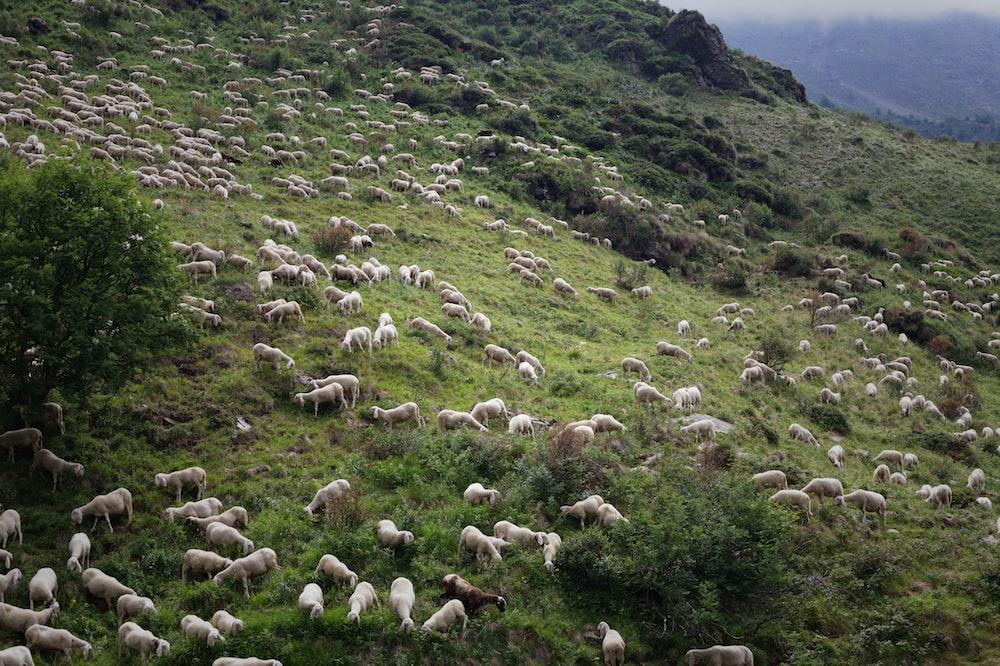herd of sheep on mountain