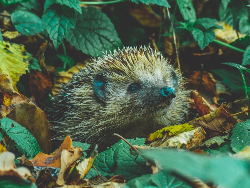 brown hedgehog in forest