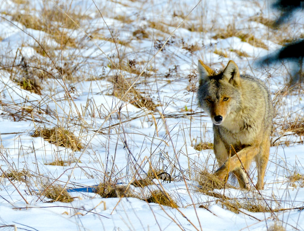 coyote walking in snow field with withered grass