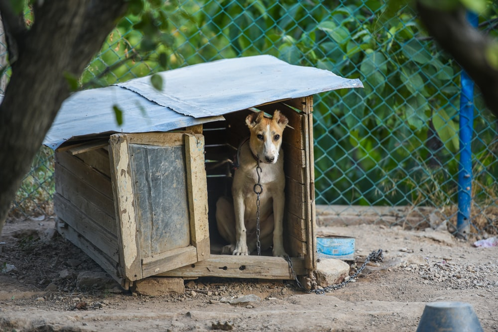 short-coated brown dog chained in doghouse