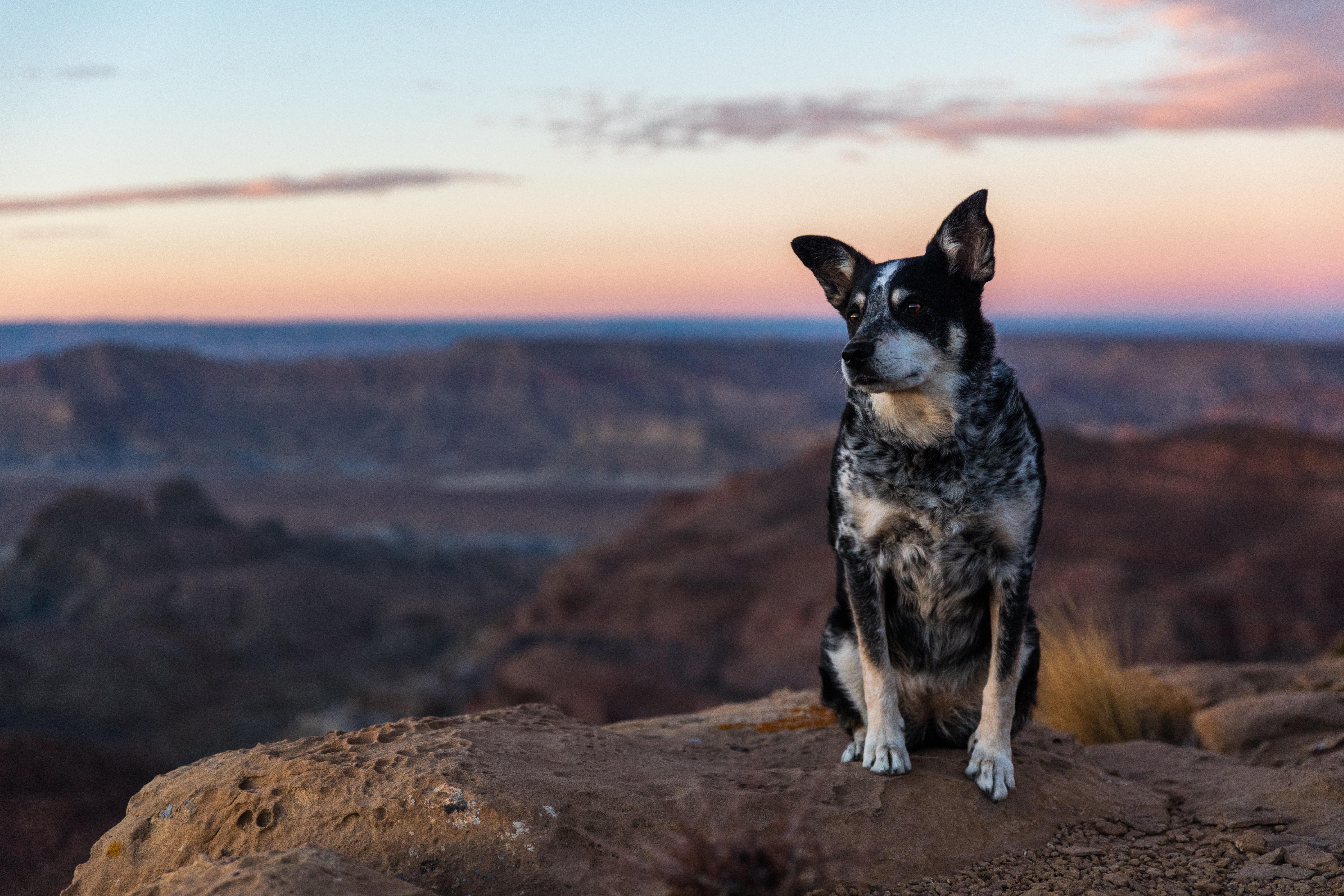 short-coated black and white dog sitting on rock during daytime