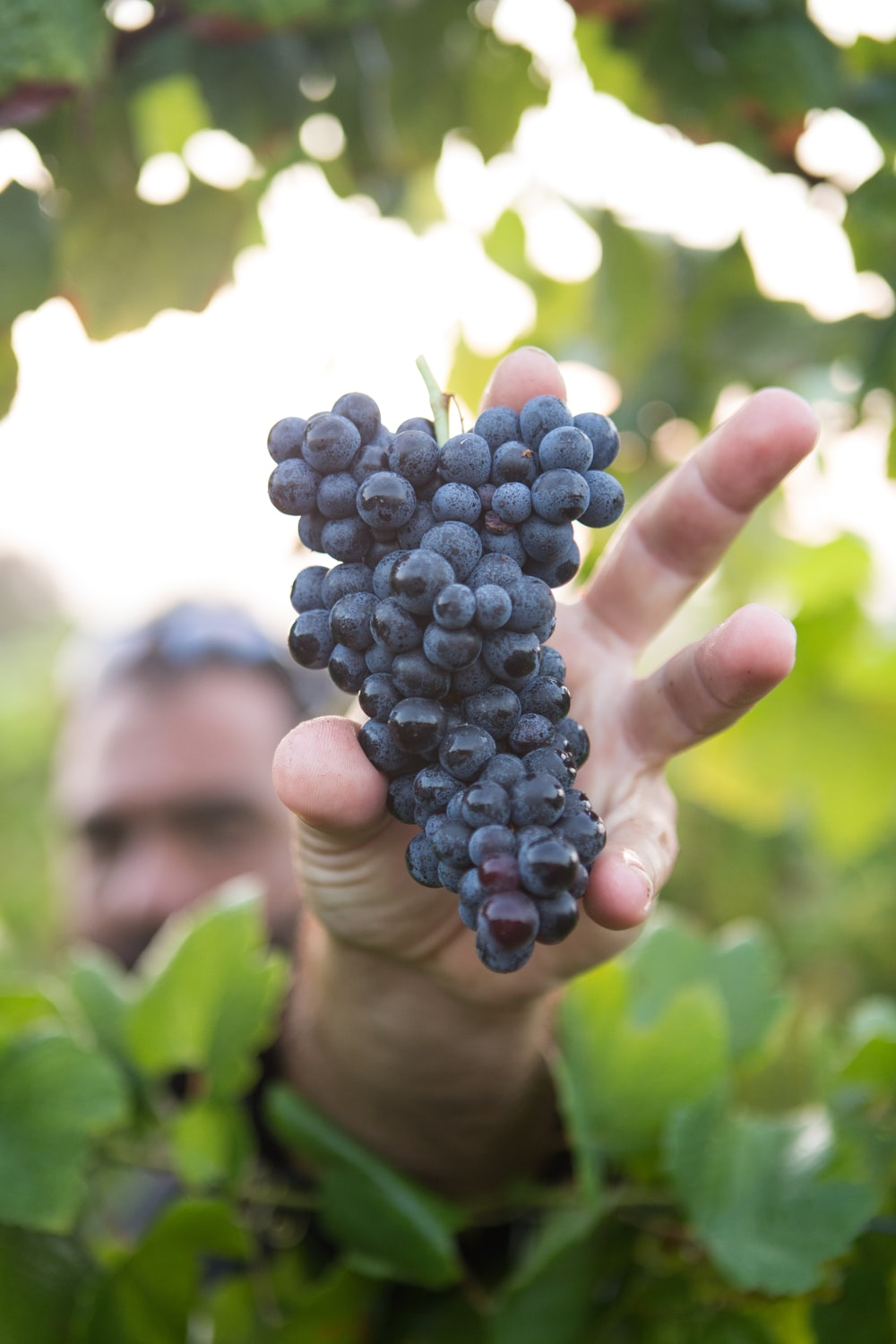 person showing purple grapes