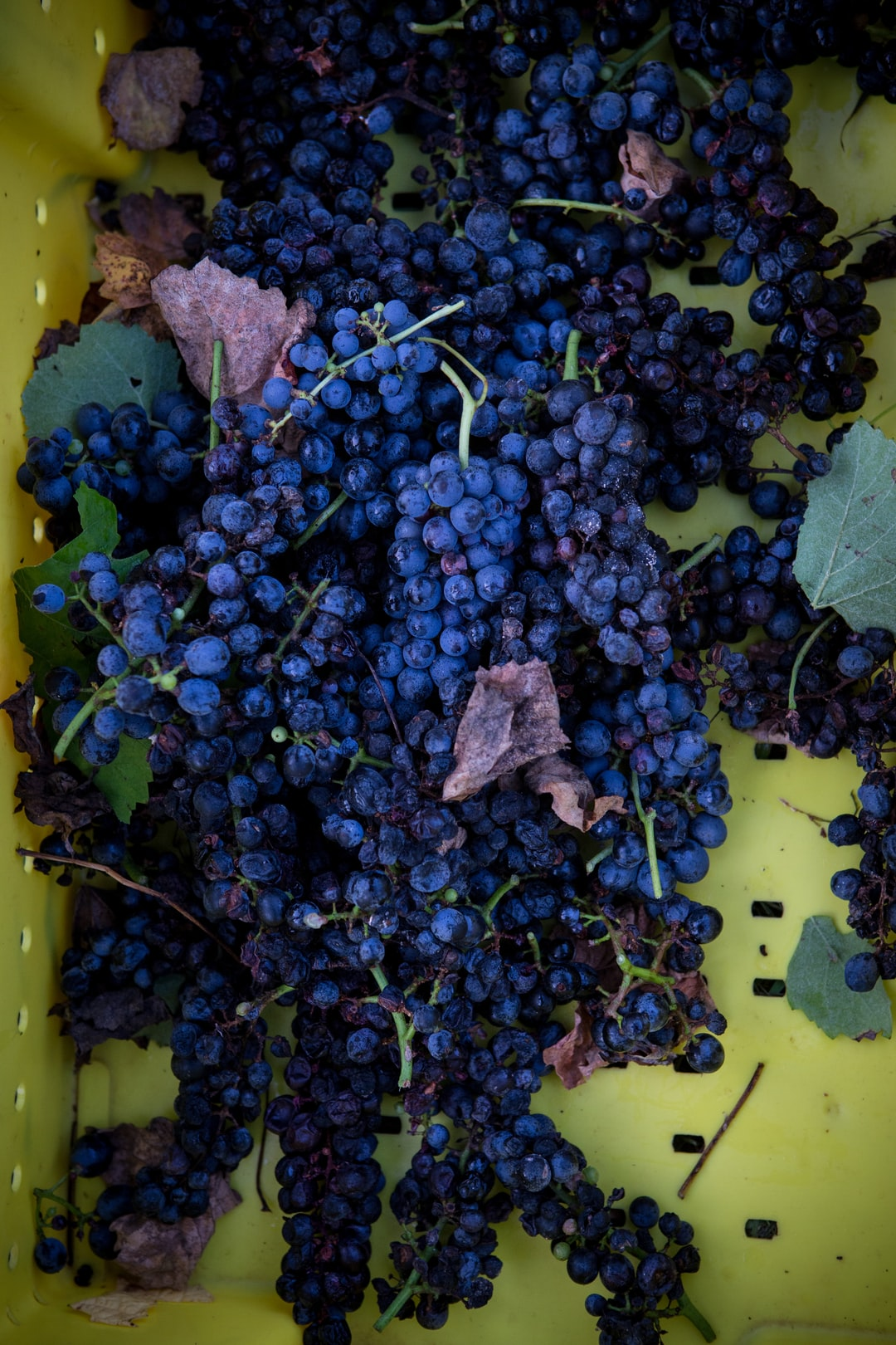 Harvest at Grinder's Switch Winery